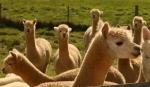 20140506 410 - Glenwaverly Alpacas sml